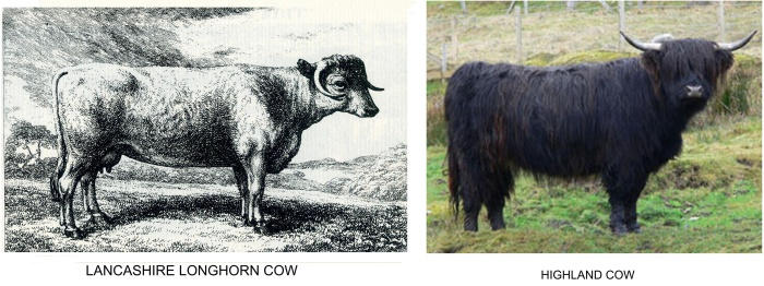 cattle images